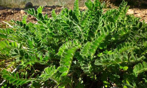 foto planta astragalo
