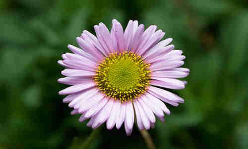 erigeron planta curativa