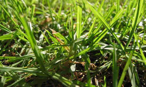 planta grama