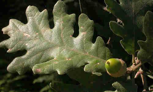 planta marojo