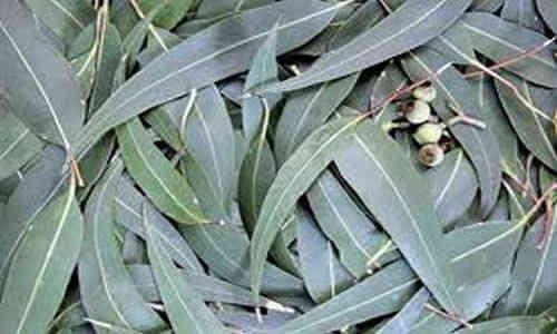 fotos de planta eucalipto