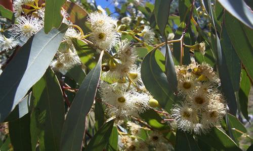 eucaliptus planta curativa