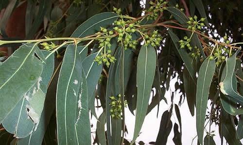 eucaliptus1