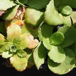 planta Hierba callera