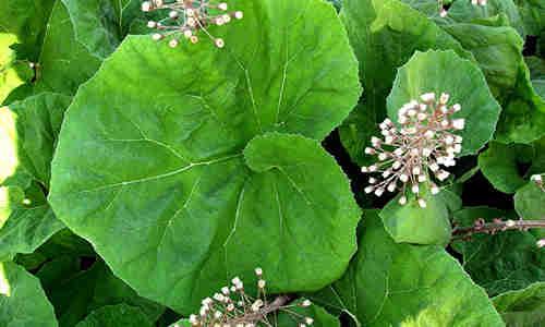 planta Petasita