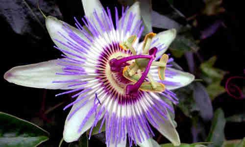 flor de pasiflora