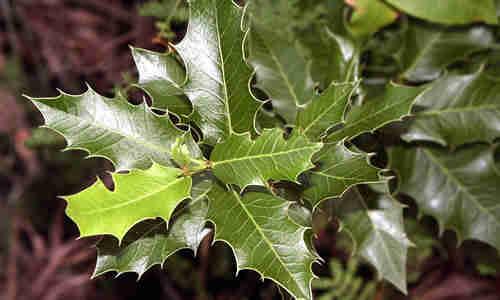 planta Congorosa