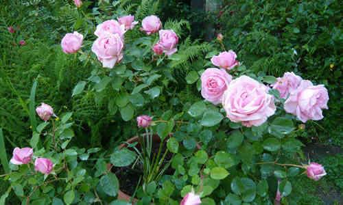 fotos Rosa centifolia