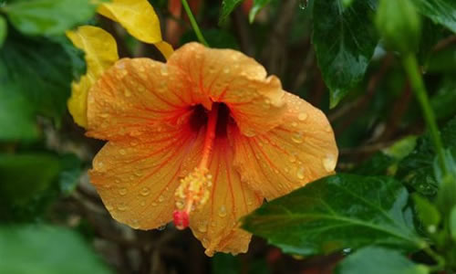 planta hibisco