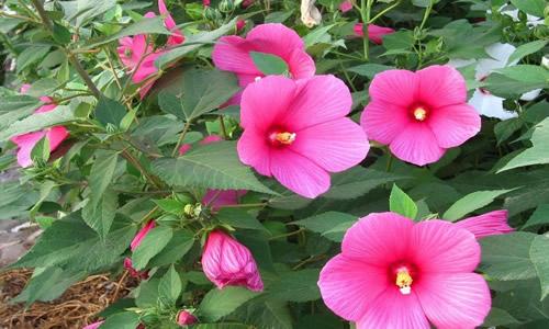 Hibisco como planta medicinal y curativa for Malvarrosa planta