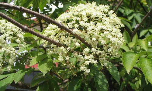 tilo planta curativa