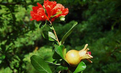 Granado y sus propiedades curativas for Arbol granada de jardin