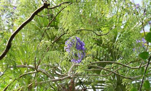 fotos planta abey macho