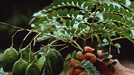 planta abey