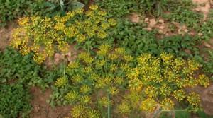 Planta Eneldo