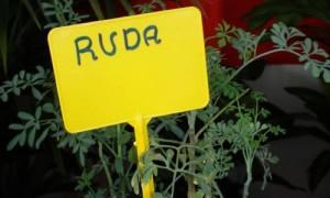 ruda planta aromatica