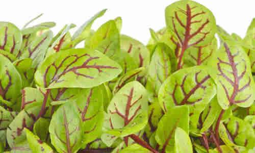 fotos planta Acedera