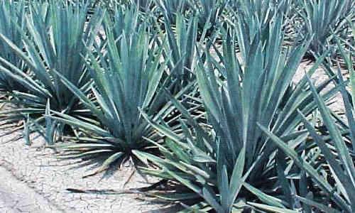 diabetes de plantas de agave