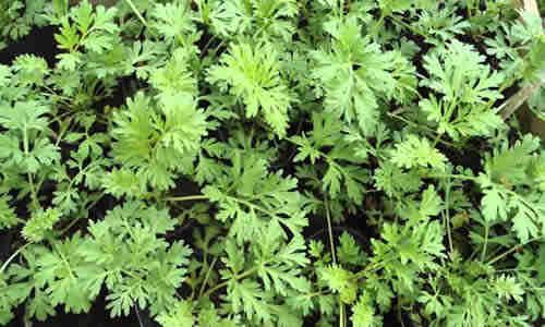 fotos planta Ajenjo