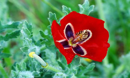 amapola flor medicinal