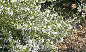 Ajedrea  Planta Aromática
