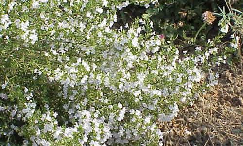 fotos Ajedrea Planta Flores-