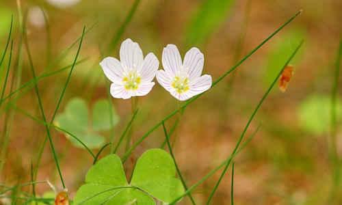 fotos planta aleluya