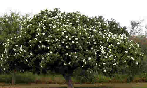 foto planta anacahuita