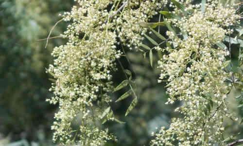 Planta Anacahuita y sus caracteristicas Medicinales