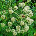 Planta Angélica y sus Beneficios