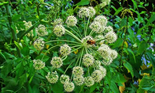 Planta Angélica y sus Beneficios | Tusplantasmedicinales.com