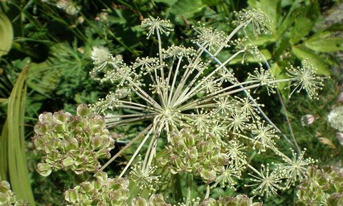 planta-Angelica