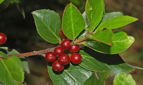 planta Ipecuana