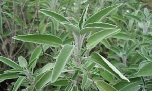 Planta Salvia