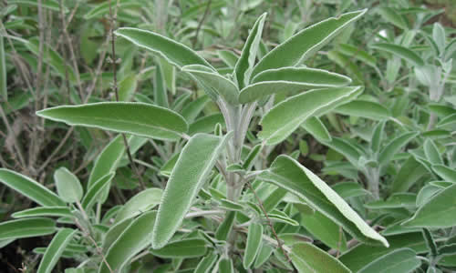 planta medicinal Salvia