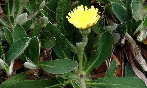 planta medicinal Vellosilla