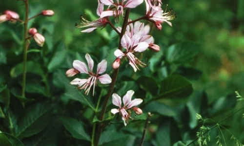 planta dictamo blanco
