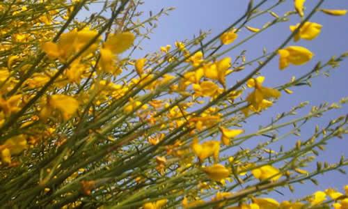 planta gayomba