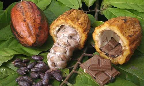 planta cacao