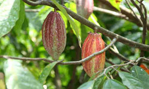 cacao planta medicinal