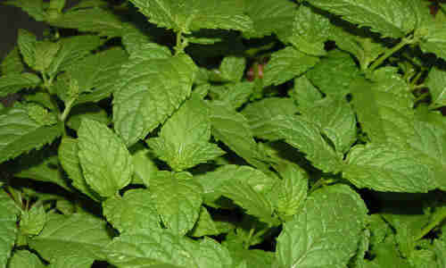 foto planta hierba buena