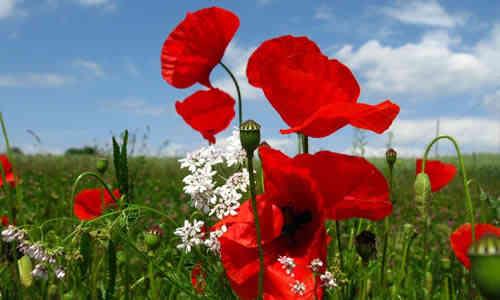 fotos flores amapolas