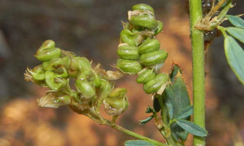 fotos planta alfalfa