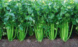 Apio, hortaliza con gran valor energetico