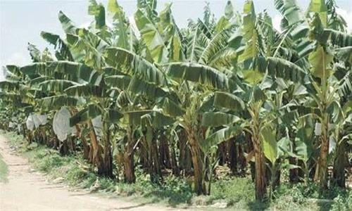 foto planta platanos