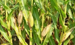 fotos maiz