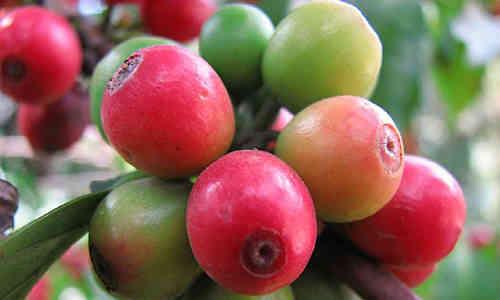 fotos fruto cafe