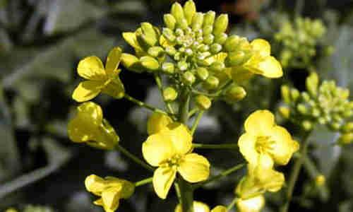 foto planta moztaza