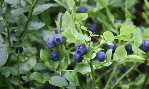 fotos planta arandano