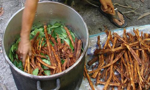 fotos planta ayahuasca